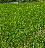 Radiation has been found in rice in Japan near the Fukushima Dai-ichi Nuclear Plant which is higher than previous results.